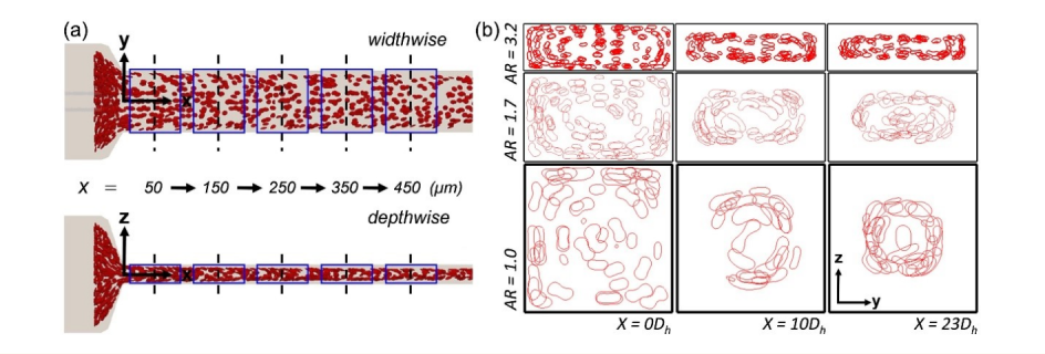 Spatial arrangement of red blood cells (RBCs) in rectangular or square microchannels of different aspect ratio (AR) along the channel length (x-axis direction). Dh = hydraulic diameter of the channel. (a) shows the top and side views of the channel, while (b) shows the cross-sectional view.
