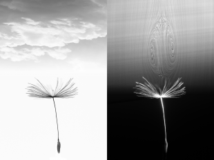 A dandelion seed in flight and (right) with the air bubble it generates, visualised in a wind tunnel (credit Cathal Cummins)
